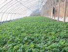 石家庄栾城区范台草莓采摘园欢迎您的到来(优惠多多)