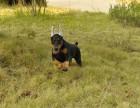 哪里有卖杜宾犬 杜宾犬价格 杜宾犬健康纯种
