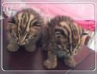 纯种完美品质 孟加拉豹猫小猫咪 包血统 保健康 疫苗做齐