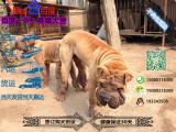 纯种健康的沙皮犬多少钱一只在哪能买到