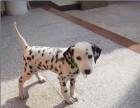 贵阳哪有斑点狗卖 贵阳斑点狗价格 贵阳斑点狗多少钱