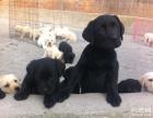 上海哪里出售拉布拉多上海拉布拉多狗狗价格上海拉布拉多哪里买