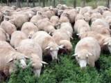 肉羊育肥饲料优农康 催肥饲料配方促生长