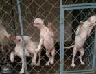 出售纯种杜高犬 杜高幼犬 质量好 血统保证