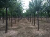 兰州50公分皂角树基地出售优质品种