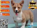 狗场直销出售纯种双色三色柯基犬-包健康 签协议
