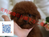 最低的价格 最好的品质 最纯的泰迪犬