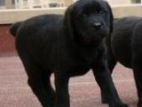 专业狗场繁殖 纯种拉布拉多犬 包建康三年,售后签协议