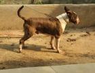 自家大狗生的一窝牛头梗可以来家里看大狗品相
