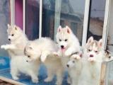 品种最多超大狗场 出售哈士奇幼犬 包养活签协议