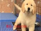 宁波哪里有金毛犬出售 宁波纯种金毛多少钱 宁波哪里有金毛犬舍