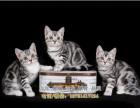 美短标准虎斑火爆出售美短起司猫公母都有多只可挑