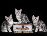 美國短毛貓美短加白起司貓貓舍直銷美短虎斑貓