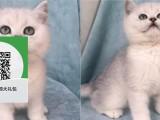 南阳哪里有蓝猫出售 南阳蓝猫价格 南阳宠物猫转让出售