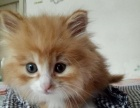 橘猫转让三个月大