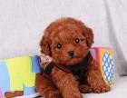 纯种健康玩具体泰迪幼犬茶杯犬贵宾犬小型犬迷你小体