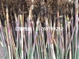 微山湖芦苇种苗批发 芦苇苗价格 芦苇种苗厂家