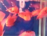 减密鹦鹉鱼七条一口价150