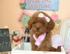 圣伯纳/买圣伯纳/圣伯纳照片/圣伯纳幼犬/熊版圣伯纳