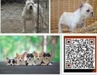 3个月的高加索犬1600元(公)