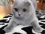 大同自家繁殖纯种无毛猫 斯芬克斯猫保健康
