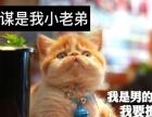 一品加菲猫 **加菲纯种 天然繁育