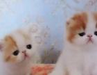 有双证的加菲猫幼猫出售