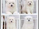 出售萨摩耶幼犬活泼可爱健康保证好品相多只挑选