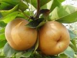 贵州今年梨树苗培养基地 梨树苗价格 梨树苗批发厂家直销