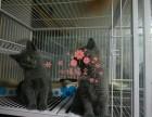 上海哪里有正规宠物店买卖蓝猫 上海较便宜蓝猫多少钱
