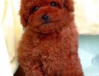 东方 狗年行大运 大吉大利 泰迪在等着你带它回家.