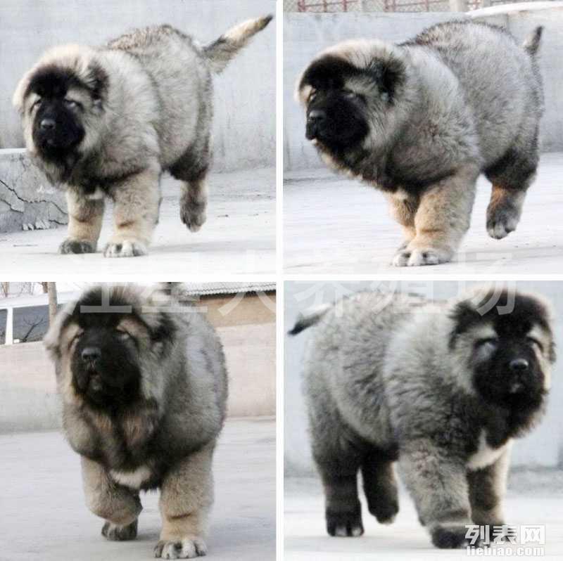 江门地区最大养殖场 出售世界名犬 可签协议 可送货上门