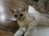 自家英短银渐层小猫找新家啦