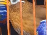 长期出售唱鸟半熟鸟生头鸟70克左右