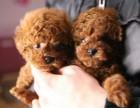 专业繁殖精品泰迪犬 包犬瘟细小冠状 包售后签协议