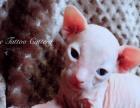 【玫瑰与猫】精品白皮绿眼斯芬克斯小母,超级可爱