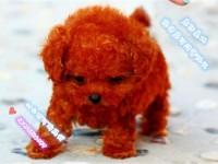 纯种茶杯玩具泰迪犬 颜色全数量多 可以来场挑选