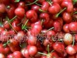 大樱桃 苗木 直销 优质价廉 现场移植