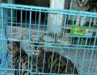 转让自家养豹猫,一公一母