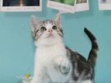 可上门挑选、短毛猫、英短美短、渐层、虎斑、加白、蓝