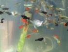 自己繁殖孔雀鱼,米奇雨出售