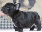 范冰冰林志玲明星都来我家买纯种黑色法国斗牛犬包健康