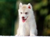 纯种哈士奇幼犬宝宝出售 可签协议 三年质保 欢迎上门!