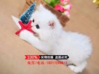 广州长毛金吉拉 金银色 短鼻子蓝眼睛金吉拉猫咪(包纯种健康)