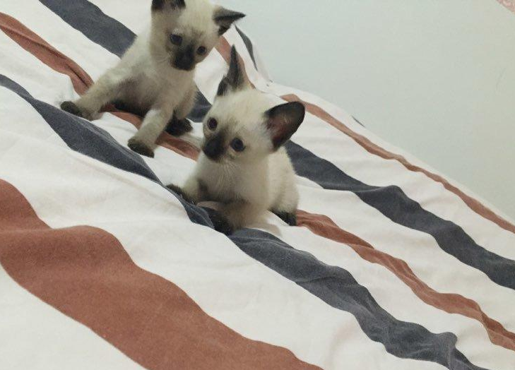 出售精品重点 海豹暹罗猫宝宝 多只待售可挑选