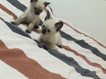 出售精品重點 海豹暹羅貓寶寶 多只待售可挑選