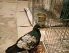 观赏鸽转让或者换母鸽子