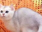 纯种健康渐层长期出售美短 英短 金吉拉 布偶 加菲猫
