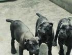 卡斯罗护卫犬短毛大型活体卡斯罗幼犬宠物狗猛