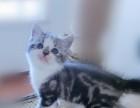 家养美短 美国短毛猫 加白起司猫 银虎斑